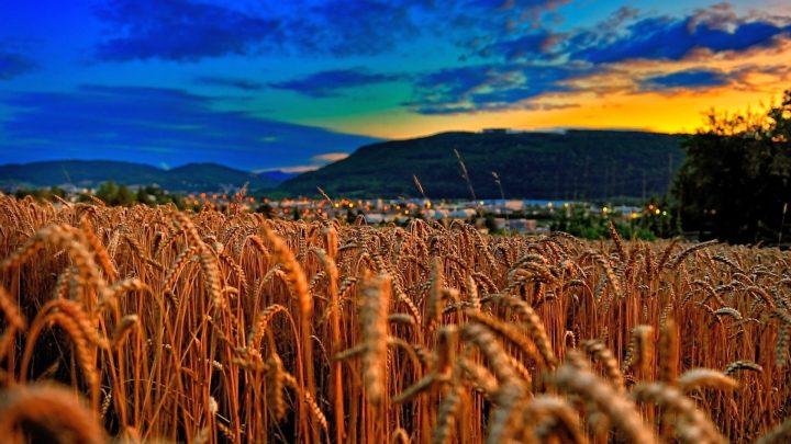 Wheat Field Sunset Sunsets Fields Nature Evening Lavender Hd Wallpaper